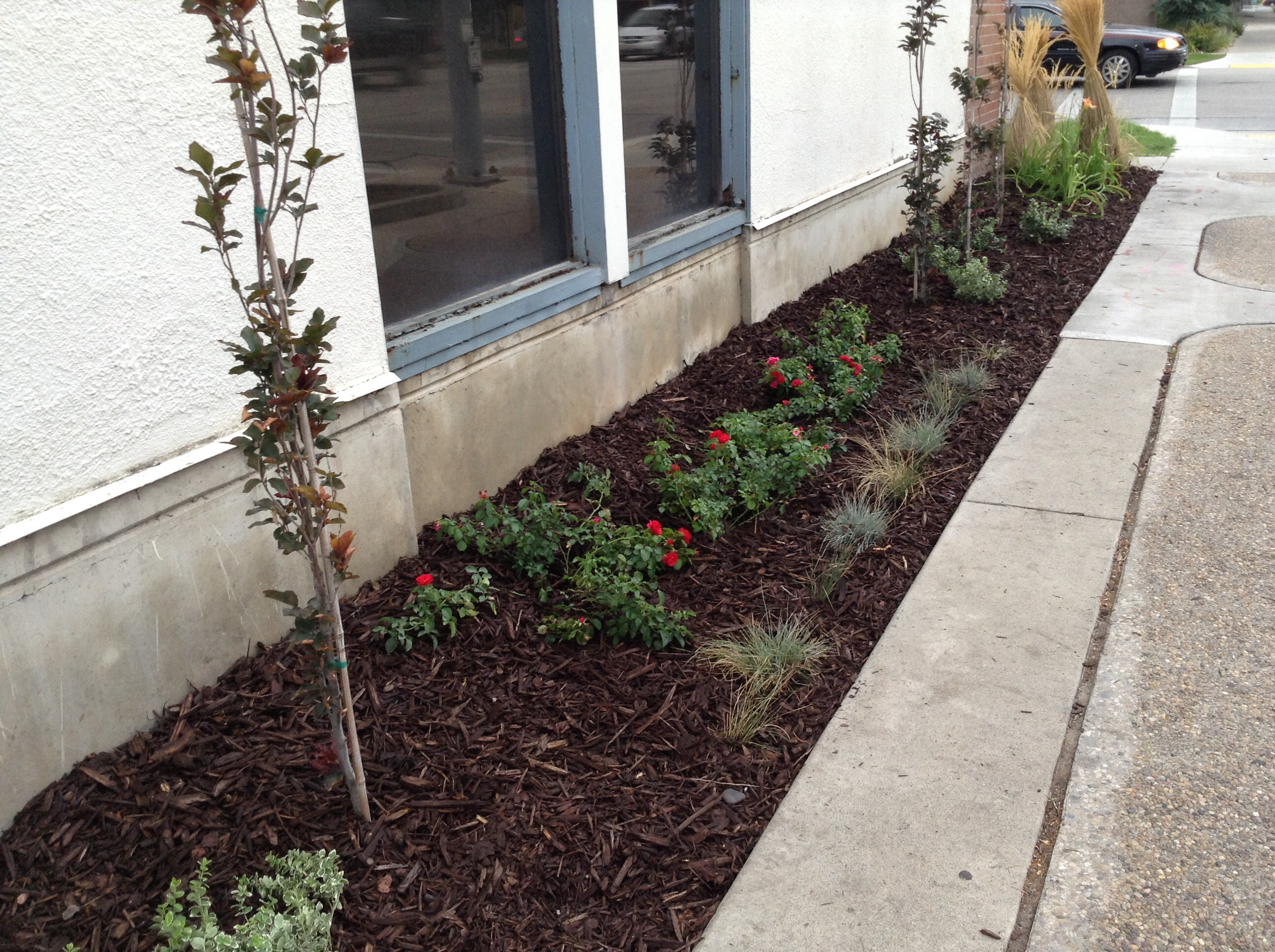 newly planted shrub roses, columnar trees, and ornamental grasses